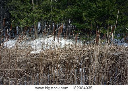 Common cattails or bulrushes (Typha latifolia) in the Fourth Street Swamp in Harbor Springs, Michigan during November.