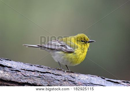 A pine warbler Dendroica pinus perching on a branch