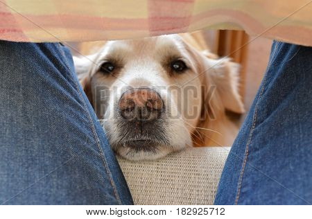 A Golden Retriever waiting for a treat between a person's legs under the kitchen table.