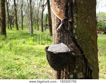 rubber pot on a tree in rubber plantation