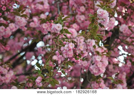 Spring blooming tree. Beautiful pink flower tree blooming in park