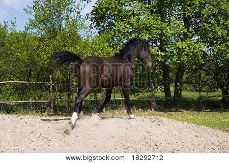 braunes Pferd im Sprung