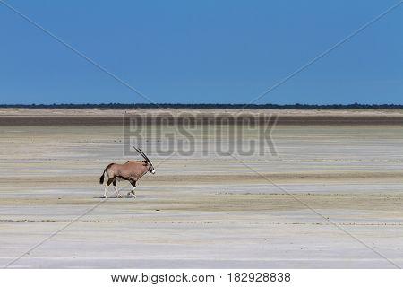 Lonely oryx at the Etosha salt pan Namibia Africa