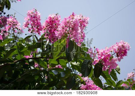 Pink Mix White Flowers Or Tabebuia Rosea Blossom