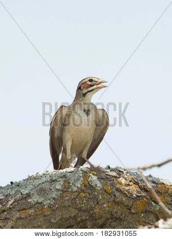 Lark Sparrow sitting on a tree limb on a hot summer day with his wings slightly spread out