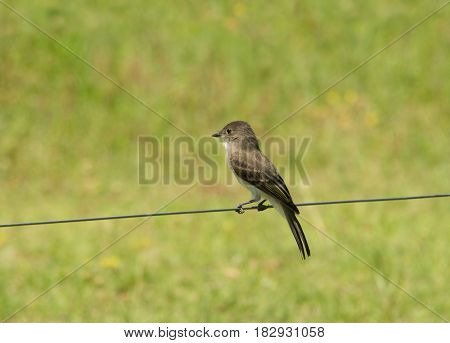 Eastern Phoebe sitting on a strand of wire