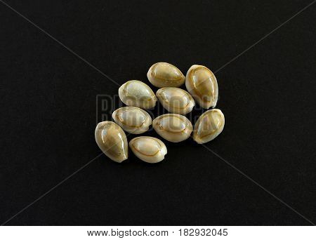 Sea snails ring cowrie (Cypraea annulus) is a cream-colored shell with an orange band encircling its rounded dorsal side