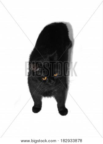 Black cat shot from above isolated on white background