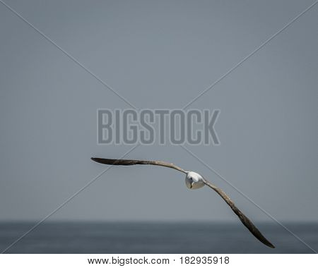 Flying, Soaring, Western Gull (Larus occidentalis) Seagull Sea Gull Above the Pacific Ocean Against a Blue Grey Sky in Del Mar,  California, USA
