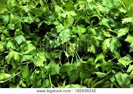 Full basket of parsley. Fresh growing parsley