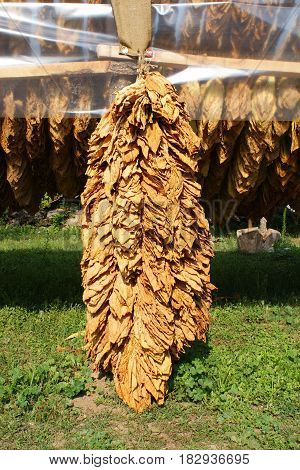 Traditional way of tobacco drying in tent rural area