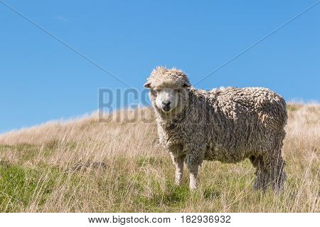 New Zealand merino sheep grazing on grassy hill with copy space