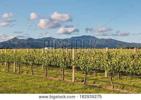 vine training and irrigation system in New Zealand vineyard