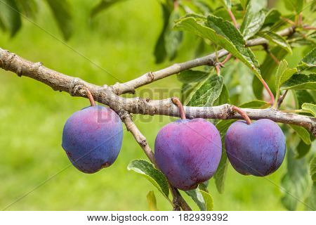 closeup of prune plums ripening on plum tree