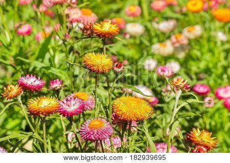 colourful Helichrysum bracteatum flowers in bloom growing on meadow