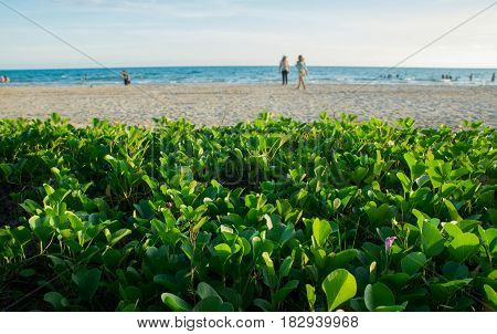Ipomoea On The Sand Beach Wih Sea Background.