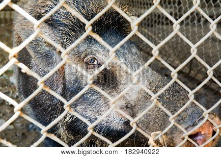 face of boar in cage in livestock
