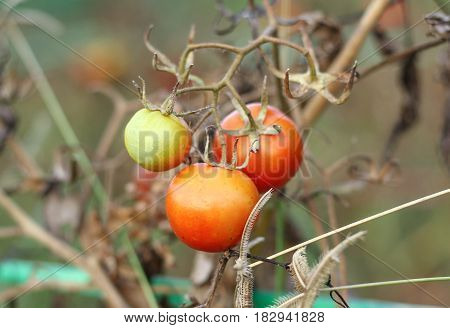 bunch of tomatoes ripening on the branch