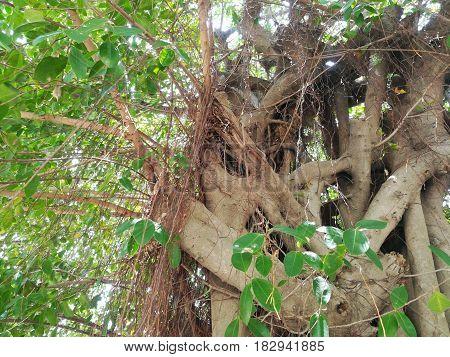 Branches of a big tree. Banyan Tree