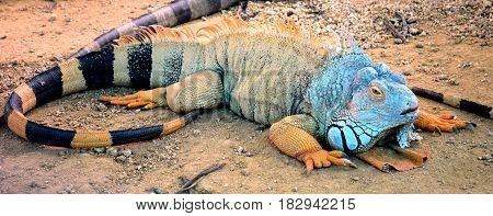 A large iguana, after dinner, is heated in the sun, and tourists admire this creation