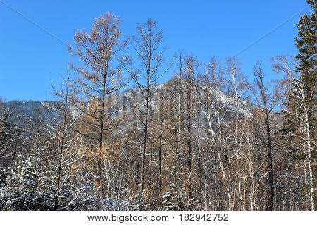 Trees and mountains with snow in winter day