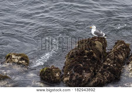 Western Gull (Larus occidentalis) Sea Gull Seagull Standing on Rocks in the Pacific Ocean in Monterey California, USA.