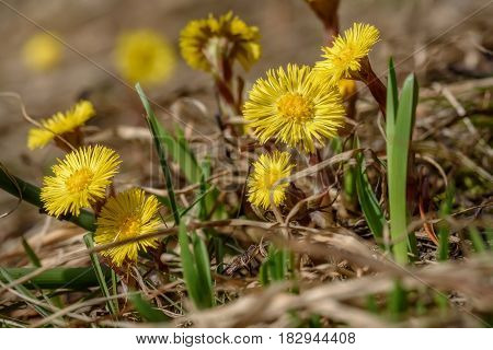 Floral background with the first spring yellow flowers of the mother-and-stepmother in the dry grass closeup