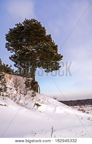 Winter landscape with snow-covered tree road and blue sky. Frozen trees and rural road. Beautiful winter tree. Сосна с выступающими корнями над обрывом.