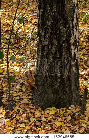 Squirrel in a tree looking curiously. Curious squirrel Autumn dry leaves