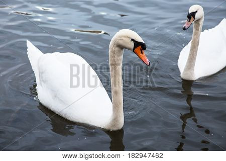 Two beautiful white swans on the water.