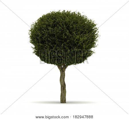 Single Crataegus Laevigata Tree (isolated on white) 3D Rendering