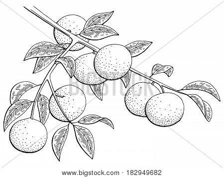 Mandarin fruit graphic branch black white isolated sketch illustration vector