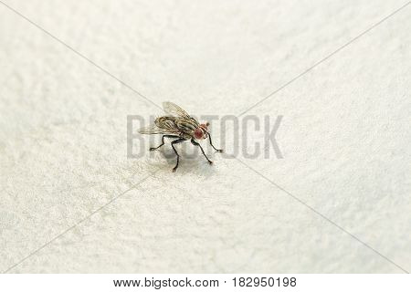 A fly on the floor, Fly is carrier of diarrhea,Macro of a green fly