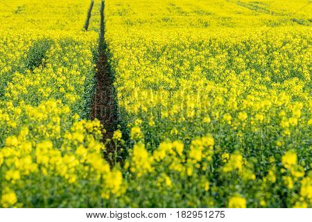 Canola crops growing in the English summertime.