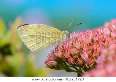 Beautiful yellow butterfly collects nectar on a pink flower bud