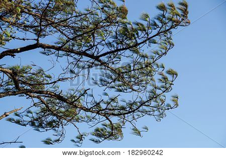 Leaf Pine Tree Wind with blue sky background