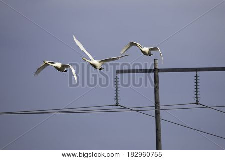 Three Whooper Swans Flying over Electricity Pylon.