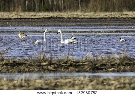 Pair of Whooper Swans in Water with Goose.