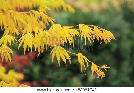 twigs of Japanese maple (Acer palmatum) with yellow leaves