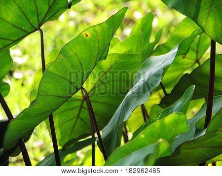 Elephant Ears Taro Colocasia Esculenta Leaves Background, Selective Focus