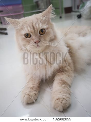 Persian adorable cat, close-up funny fluffy face, in sepia tone color