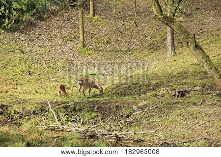 axis deer female with its youngster pasturing on the bank of a pond
