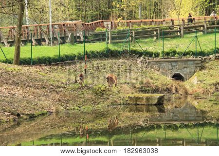 axis deer in the enclosure with a pond in ZOO in Ostrava, Czech Republic