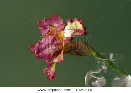 Pink and yellow iris against green bacground