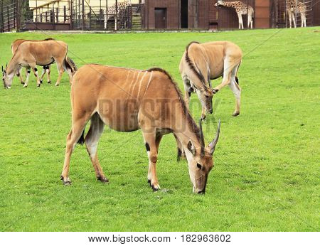 group of eland antelopes (Taurotragus oryx) pasturing on green grass