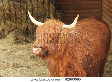 portrait of a shaggy cow of highland cattle