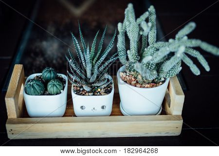 Tree cactus in white ceramic pot on wood plate