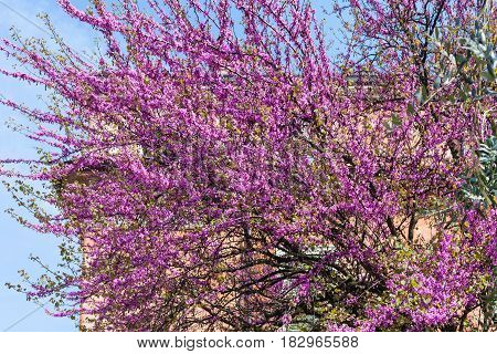 Pink Blossom Of Cercis Siliquastrum In Verona