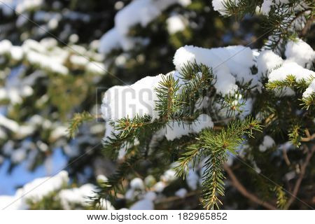White snow on the branches of spruce