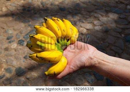 Typical very sweet small Cuban bananas on the palm.